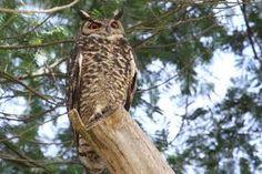 Cape, Wildlife, Owl, Bird, Animals, Mantle, Cabo, Animales, Animaux