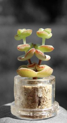 Tulip Boo Boo Pet Plant or Mini Baby Pet Tree | Boo-Boo Plant