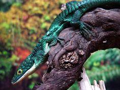 Terrestrial Arboreal Alligator Lizard (Abronia graminea)