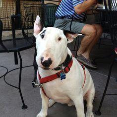 Oliver... English bulldog