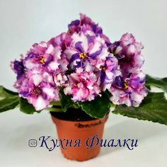 Psychedelic Show - Gorgeous! Large, double coral pink pansies, laced with blue fantasy dots and dashes. Snow white center stripes finish off this eye-catching flower. Medium green, plain foliage. Standard. #PsychedelicShow #ChimeraViolet #AVSA #AfricanVioletSocietyOfAmerica #AfricanViolet #IndoorPlant #Houseplant #saintpaulia #senpolia #AfricanVioletLovers #fialka #saintpaulia #senpolia #flowers #bloom #blooms #fialki #fialka #flowerpower #AfricanVioletLovers  Leafy Plants, Flowering Plants, Air Plants, Planting Flowers, Easy House Plants, Saintpaulia, African Violet, Carnivorous Plants, Natural Garden