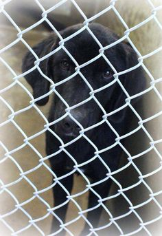 07/30/14~ODESSA SUPER  URGENT ~Lab male~1-2 years old~ Kennel A5~ Available 7-31-2014 ****$51 to adopt ~  Located at Odessa, Texas Animal Control. Must have a valid Drivers License and utility bill with matching address to adopt. They accept Credit Cards, cash or checks. We ARE NOT the pound. We are volunteers who network these animals to try and find them homes. Please send us a PM if we can answer any questions for you.