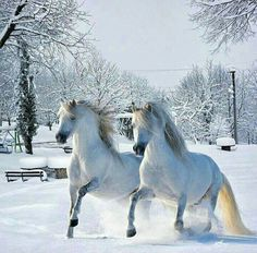 Two white horses running in the snow. Just gorgeous. Beautiful horses.