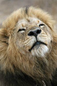 Male Lion, Mala Mala, S. Africa