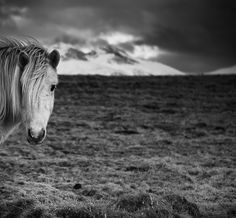 Icelandic Horse Waiting for summer ..