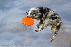 Frisby dog! Australian Shepherd
