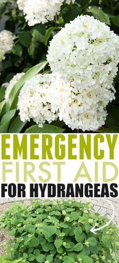 hydrangea garden care Emergency First Aid for Hydrangea Problems Garden Care, Gardening For Beginners, Gardening Tips, Indoor Gardening, Container Gardening, Shade Garden, Garden Plants, Flowering Plants, Blooming Plants