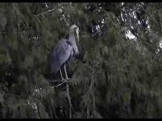 Great Blue Heron - Late February 2012