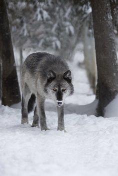 pavse:  Alaskan Wolf by Douglason Flickr.