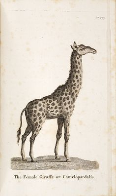 The Female Giraffe or Camelopardalis,  Image number:SIL28-313-02