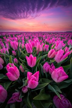 Cool Landscapes, Beautiful Landscapes, Beautiful Gardens, Spring Aesthetic, Flower Aesthetic, Tulip Season, Spring Images, All Nature, Pink Nature