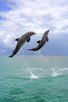 Two dolphins leaping