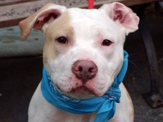 STATUS UNKNOWN  SHARE/PLEDGE/FOSTER/ADOPT/PIN/ RESCUE TO BE DESTROYED 11/27/13 Manhattan Center P CASPER #A0985590 Male pit mix STRAY 11/21/13~JUST A BABY @ 1YR OLD!!!!A good Samaritan found Casper stated that he spent  time w/ his young child & a Yorkie. They got along well.  Easy going, walks nicely on leash, likely house trained, fine w/ other dogs. Calm, well mannered, gentle, sits & stays on command. Comes when called. Quiet, friendly, aced his behavioral exam. WOW! GREAT DOG
