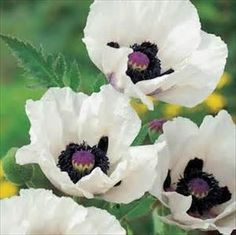 Papaver Hybrid: One of the newer hybrids. Extravagant, deeply cupped 5 white large silky flowers with coal black centers. It will give you years and years of beautiful blooms. ------------------------------------- 10 seeds ------------------------------ Perennial Sun Height:3 Blooms: