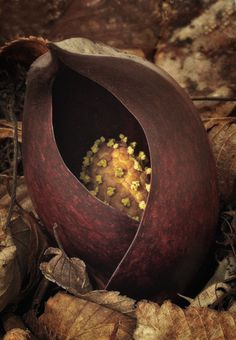 Skunk Cabbage Yellow Seed Pod by Mike Moats Organic Form, Organic Shapes, Seed Pods, Patterns In Nature, Natural Forms, Planting Seeds, Macro Photography, Fungi, Mother Nature