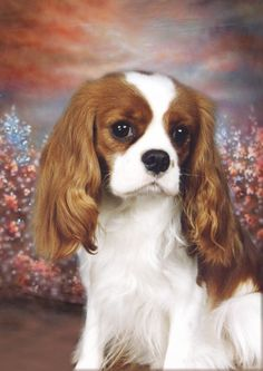Dog Collectables Cavalier King Charles Spaniel Dog Blank Card Design No 21 By Starprint King Charles Puppy, Cavalier King Charles Dog, King Charles Spaniel, Cavalier King Spaniel, Puppy Mix, Irish Terrier, Spaniel Puppies, Pet Portraits, Cute Dogs