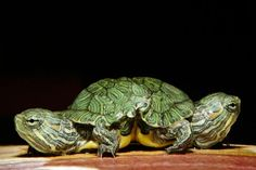 Two headed turtle.