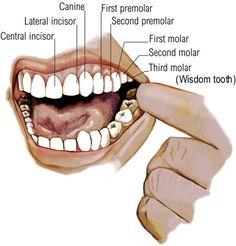 File:Ama teeth.jpg