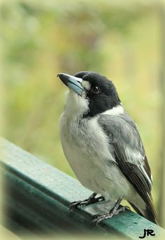 My friendly Grey Butcher Bird visiting today. I have a little butcher bird,in winter sunning himself on my veranda sits for hours. Feather With Birds Tattoo, Bird Feathers, Tattoo Bird, Bird People, Wild Bird Feeders, Tattoo People, Bird Silhouette, Australian Animals, Wild Birds