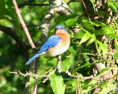 how to attract bluebirds in your yard  http://gardensandcrafts.com/tips_attractingbluebirds.html