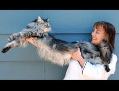 Stewie, a 5-year-old Maine coon from Reno,holds the Guinness World Record for the world's longest domestic cat. He measures 48.5 inches from the tip of his nose to the tip of his tail bone.