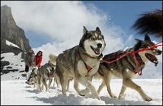 Sibirian Huskies-Dog Sledding in Switzerland