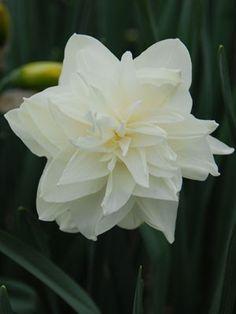 131 best narcissusdaffodilwhite images on pinterest in 2018 daffodil white medal daffodil bulbsbulb flowerslove mightylinksfo