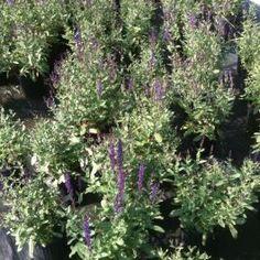 Perennial Sage