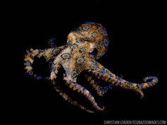 Blue Ringed Octopus Underwater
