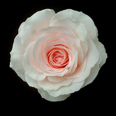 Colby School Rose: Floribundas (cluster roses), Bush, 2006, continuous flowering, some scent, tolerate small amount of shade, not very thorny, not very attractive to bees. Creamy-white with hints of pink on the petals & with a honey colored centre. Can be grown in a pot. 2'w x 2'h.