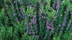 Image result for rosmarinus officinalis