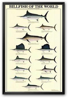 """Billfish of the World"" Framed Art Print. https://api.shopstyle.com/action/apiVisitRetailer?id=414026771&pid=uid8100-34415590-43"
