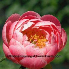 Gold Medal Winning Saunders Hybrid Peony Ludovica.Hidden Springs Flower Farm $25