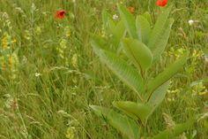 """Homoki gyepek réme, a """"vaddohány"""" - Amerikából behurcolt invazív selyemkóró a Kiskunságban. Ahol megjelenik, mindent elnyom. Háttérben pár #pipacs - #nature #photography #parasite #invasion #steppe #puszta #flora #flowers #landscape #field #természet #természetfotók #selyemkóró #vaddohány #Kiskunság #Alföld #pipacs #poppy #poppies Land Scape, Nature Photography, Plants, Nature Pictures, Plant, Wildlife Photography, Planets"""