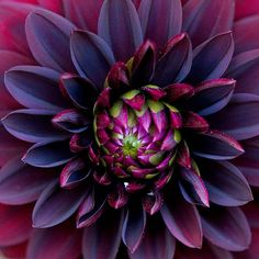 The Black Dahlia.(this is a black dahlia, but not like the one in the book) Black Dahlia, Black Flowers, Exotic Flowers, My Flower, Pretty Flowers, Dahlia Flowers, Purple Dahlia, Deep Purple, White Dahlias