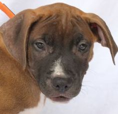 Riley is an adoptable Pit Bull Terrier Dog in Baton Rouge, LA. � Riley is a sweet little pup waiting for her forever home at CAA. �Come meet this playful little girl. �The shelter is open from 12-6 Tu...