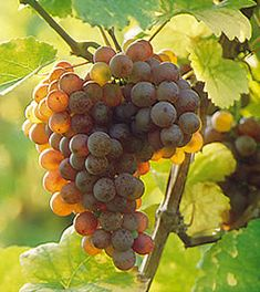 """Gewürztraminer, Literally translated as """"spicy"""", Gewurztraminer is grown primarily in Germany and in the Alsace region of France where the cooler climate allows it to ripen fully. It has a light, crisp acidity and a bold flavor"""