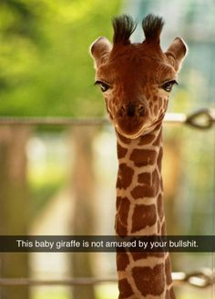 This baby giraffe is not amused by your bullshit.