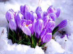 За окном уже последний зимний месяц…  Значит, скоро к нам заявится Весна…  Юный март, смеясь, опять закуролесит  И… природа вмиг проснётся ото сна…