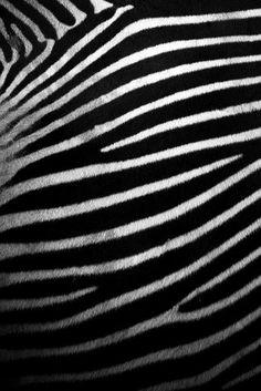 zebra skin   patterns in nature by Adam Foster   Codefor, via Flickr:
