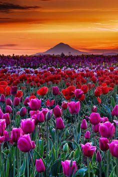 Tulip Sunset, Woodburn, Oregon. More scenic Oregon http://scenic-calendars.com/oregon-calendars.htm