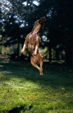 Photo d'un american staffordshire terrier prise lors d'un saut@@