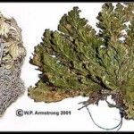 Ressurrection fern