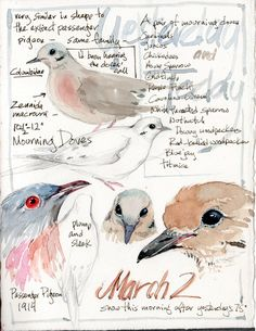 Sketching in Nature: Mourning Doves and their family...