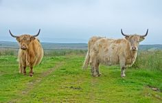 Highland cattle, on the track to Munsary Peatlands Reserve, Caithness, Scotland. Saw Series, Highland Cattle, Environmental Art, Image Collection, Photo Book, Scotland, My Photos, Track, Fine Art