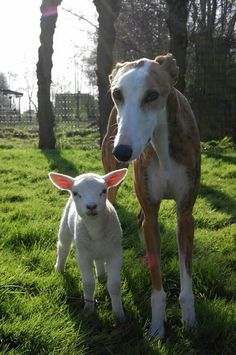 Kyle the Galgo, adopted from Galgo del Sol, with new friend - Aww!