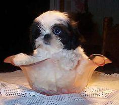 242 Best Cuties Images On Pinterest Baby Shih Tzu Shih Tzu Puppy
