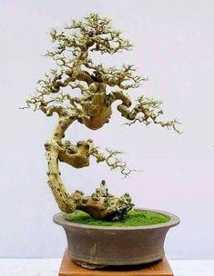 pin von mac koi auf bonsai mini bonsai bonsai und. Black Bedroom Furniture Sets. Home Design Ideas