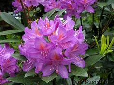 Orman Gülü, Komar (Rhododendron) Rhododendron, Flowers, Garden, Beautiful Rocks, Plants