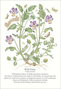 heartsease, the wild pansy Nature Illustration, Botanical Illustration, Flower Fairies, Flower Art, Pansy Flower, Pansy Tattoo, Garden Journal, Plant Art, Botanical Prints